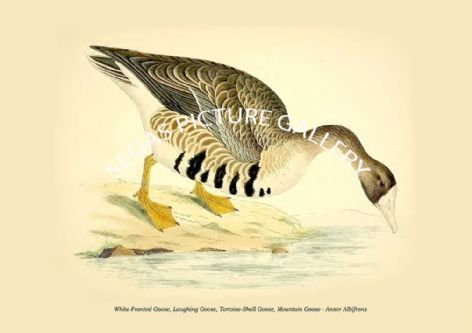 Fine art print of the White-Fronted Goose, Laughing Goose, Tortoise-Shell Goose, Mountain Goose - Anser Albifrons by Beverley Robinson Morris (1855)